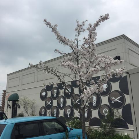 佐賀県鳥栖市 桜が咲きました 美容室 コレバ お花見
