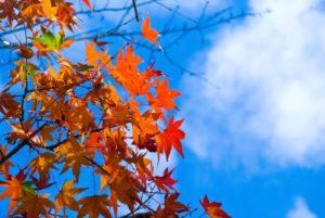 秋空の写真 フリー素 もみじブルースカイ