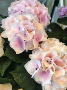 アジサイ紫陽花コレバ植物美容室癒し