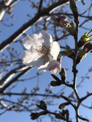 コレバ美容室桜2020元気に咲いてます
